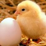 perche non mangiare le uova